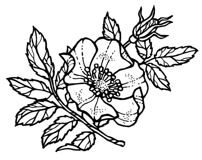 Шиповник рисунок карандашом