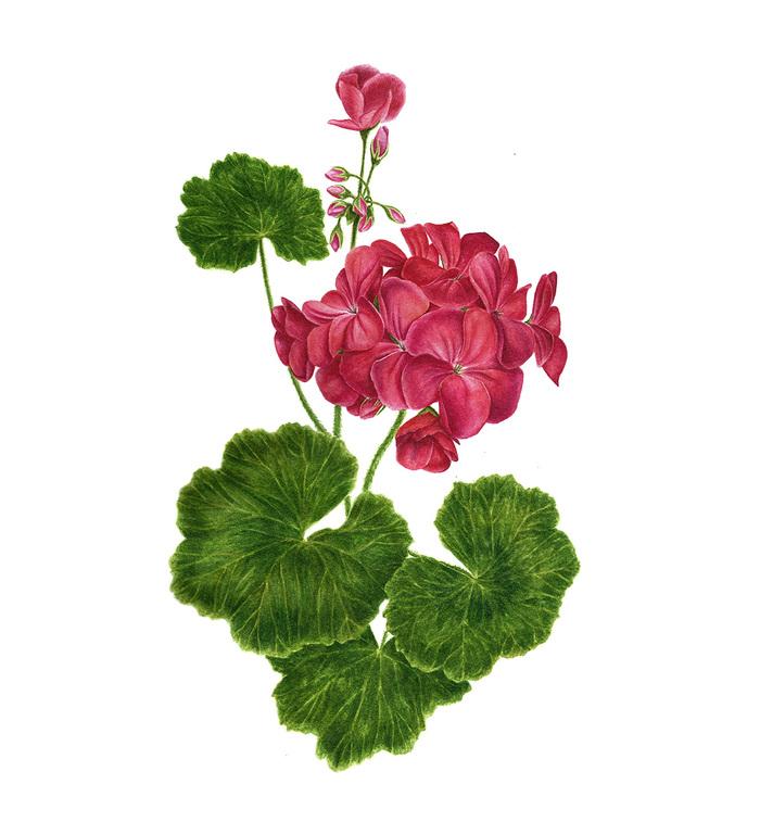 Герань цветок рисунок каждый