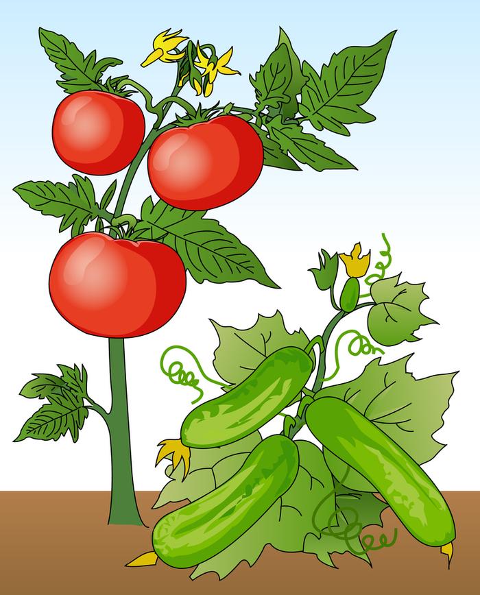 Картинки как растет помидор огурец