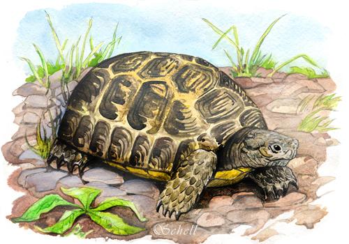 Рисунок черепахи тортилы.картинки черепахи тортилы из книг толстого