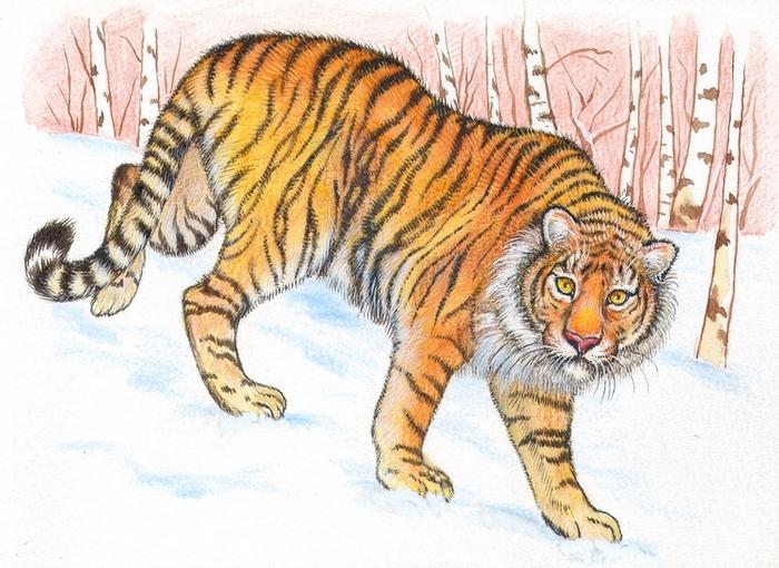 Нарисовать амурского тигра картинки