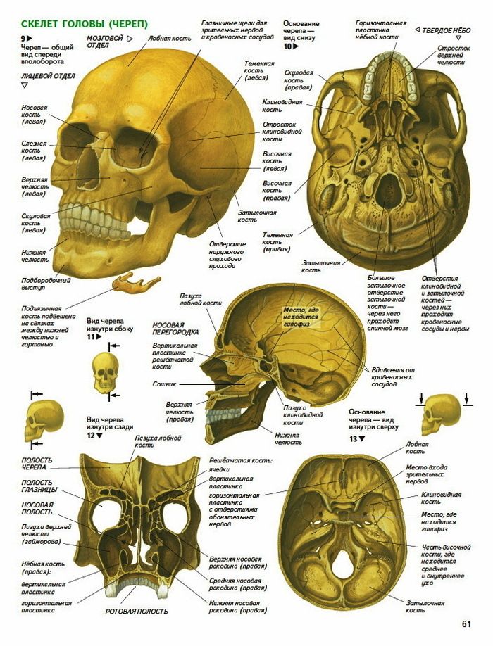 Head skull anatomy