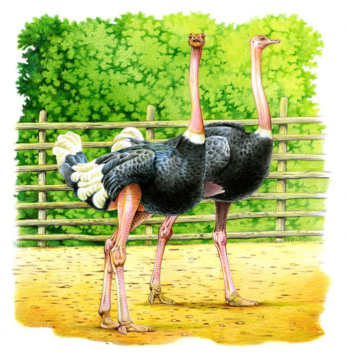 Картинки страуса для детей цветные красивые