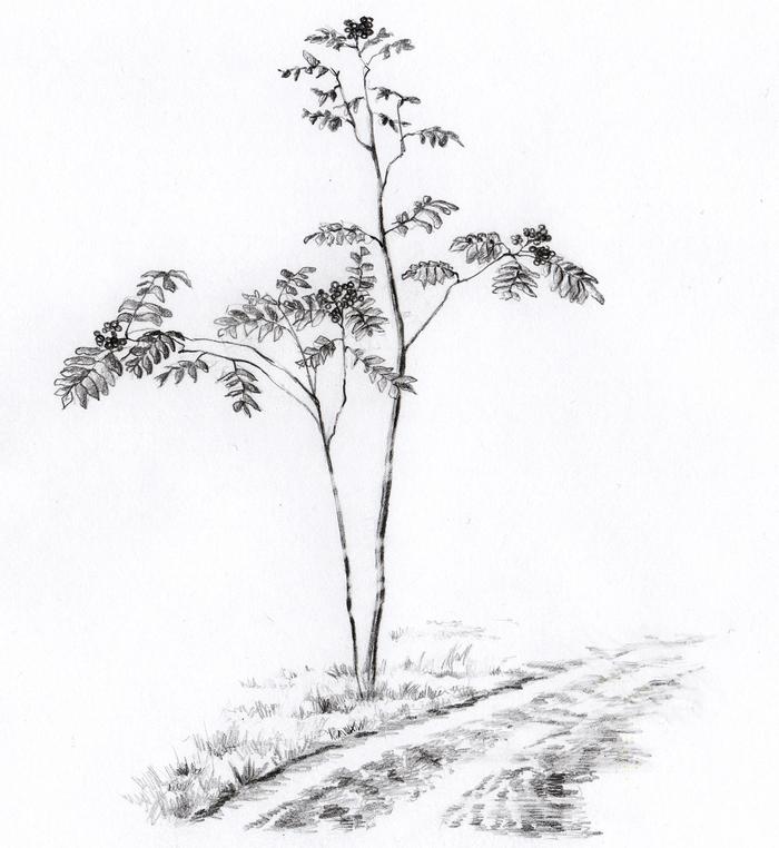 раскраска рябина дерево ограды выкованные