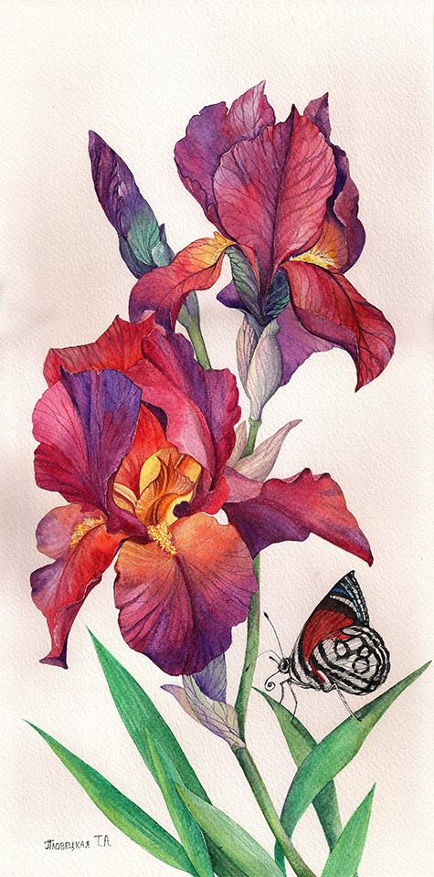 Картинки с рисованными ирисами