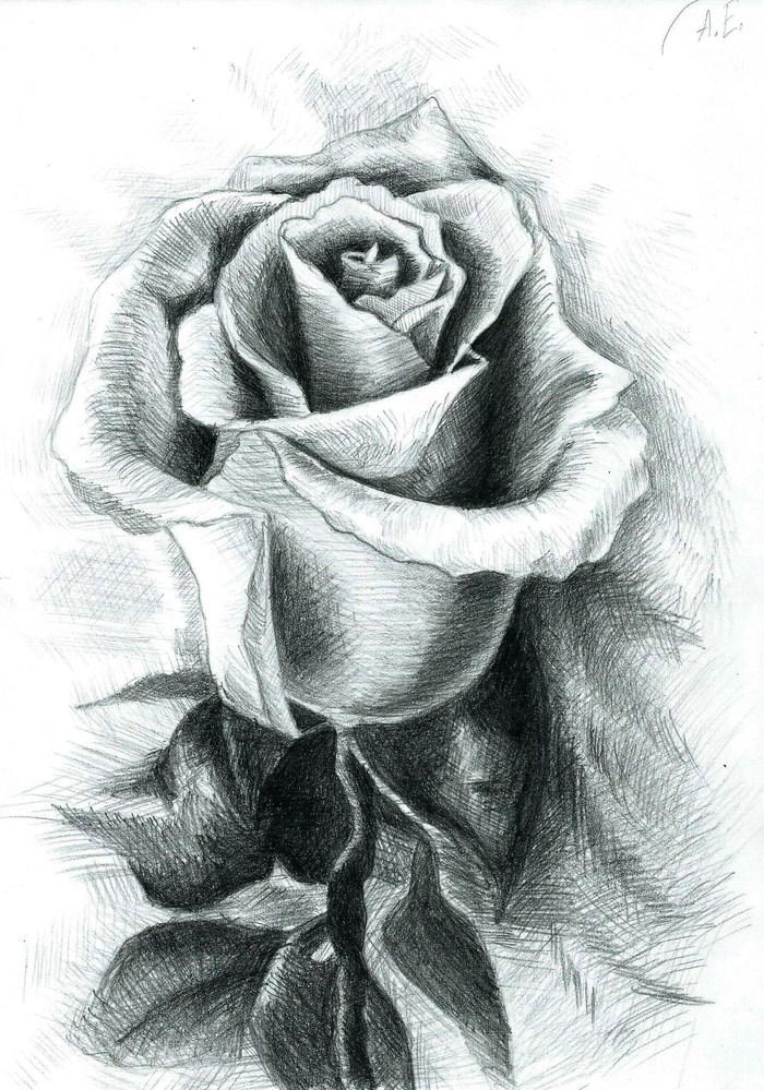 Роза карандашом в картинках