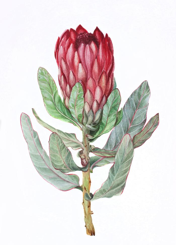 роза африканская фото